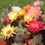 12 magnifiques cactus faciles à entretenir à lintérieur
