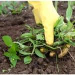 Comment éliminer les mauvaises herbes sans produits chimiques !