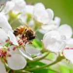 Les abeilles sont des amies : pourquoi les abeilles sont si importantes pour nos fruits ?